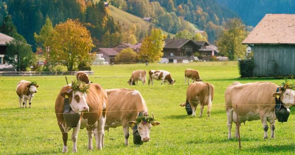 Mucca Capra o Pecora